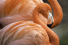 Perfect Curves (Longleaf.Photography) Tags: pink flamingo florida bird wildlife zoo birmingham al curves neck