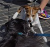 Their Agenda (Scott 97006) Tags: dogs interface meeting animals canine cute