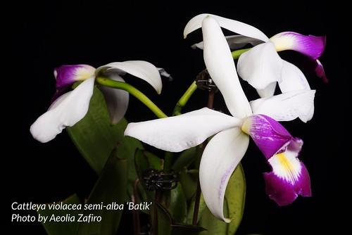 Cattleya violacea semi-alba 'Batik' -2