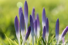 Krokus (Marjon van der Vegt) Tags: denhaag voorjaar oud ijs