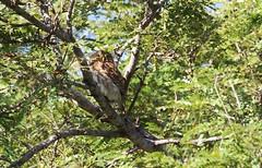 Ferruginous Pygmy Owl / Chevêchette brune /  Glaucidium brasilianum (ricketdi) Tags: birdofcostarica ferruginouspygmyowl chevêchettebrune glaucidiumbrasilianum coth5 sunrays5