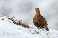 Red Grouse - Female (Lagopus lagopus scotica) (paulwatts980) Tags: birds cairngormsnationalpark d500 nikon500mmf4 philgowerbirdtoursscotland2018 scotland