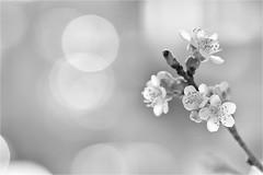 light of spring....... (Brigitte Lorenz) Tags: flowers monochrome spring light mood nature