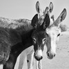How many donkeys? (trondjarlehansen) Tags: marokko morocco sahara ergchegaga esel svarthvitt donkey donkeys blackandwhite blacknwhite skancheli animal