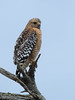 Red-shouldered Hawk (dennis_plank_nature_photography) Tags: montereypeninsula california monterey aquarium birds nature trees waves
