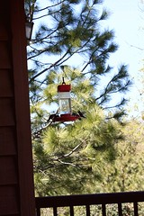 Eating at a Moving Table 2 (sjrankin) Tags: 18march2018 edited gif animatedgif california northerncalifornia hummingbirds hummingbirdfeeder wind breeze pinetrees deck railing