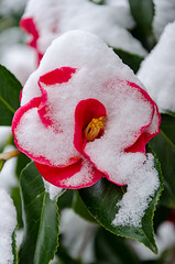 Camellia japonica 'Lady de Saumarez' (Stephen Reed) Tags: rhswisley garden winter snow flowers d7000 nikon lightroomcc naturalbeauty badweather