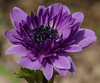 Anemone Lilla-Violetto (G.Sartori.510) Tags: pentaxk1 hdpentaxdfa150450mmf4556eddcaw anemone