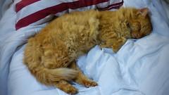 Now where do I sleep? (Sandy Austin) Tags: sandyaustin westauckland auckland massey northisland newzealand cat mario sleeping ginger