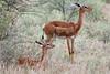 Gerenuk mum + 1 (Janet Marshall LRPS) Tags: gerenuk giraffegazelles antelope samburunp kenya safari mum calf explored