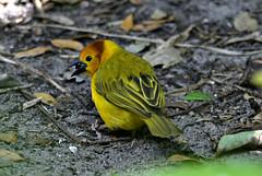 Taveta Golden Weaver (River Wanderer) Tags: tavetagoldenweaverbird bird weaver africanbird nikon nikond7200 55300