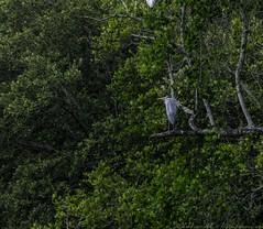 20180218-0I7A3904 (siddharthx) Tags: sungeibulohwetlandreservecanon7dmkiief100400mmf4556lisi singapore sg sungeibulohwetlandreserve canon7dmkii ef100400mmf4556lisiiusm nature landscape tree water wildlife migratorybirds vulnerable mangroves wetlands marsh nparksbuzz greyheron heron