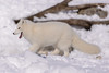Arctic Fox (pxr57) Tags: sainteannedebellevue québec canada ca fox nikon d600 eco zoo arcticfox