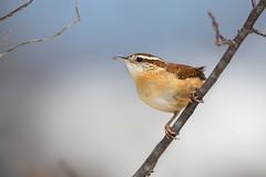 Carolina Wren (Carlos Carreras) Tags: carolinawren birds bird baskingridge greatswampnationalwildliferefuge greatswamp newjersey nature nj njbirds wildlife
