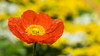 周末愉快✿❀ (幻影留梦) Tags: gibbs garden early spring flower poppy papaveroideae colors georgia south living sony fe 24105mm f4 g oss lens sel24105g