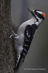 Male Downy Woodpecker Perched On A Tree Trunk In Typical Woodpecker Fashion (brucefinocchio) Tags: maledownywoodpecker downywoodpecker woodpecker perched treetrunk typicalwoodpeckerpose picoidespubescens sanlorenzocreek castrovalley eastbay northerncalifornia