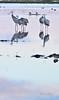 Morning Birds Tele 06 (Dave Skinner Photography) Tags: cosumnes river preserve sunrise birds heron egret cran clouds bridge swan almonds road 500mm winter birding