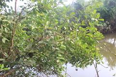 Syzygium caryophyllatum_Padel Bandhaa5 (Alka Khare) Tags: syzygium myrtaceae floraofmaharashtra