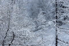 mélèzes enneigés (bulbocode909) Tags: valais suisse champexlac montagnes nature arbres mélèzes hiver neige brume