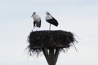storks in the nest in Switzerland