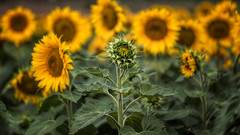 Dare to be different (RissaJT_23) Tags: different sunflowers canon5dmarkiv canon70200mm canoneos5dmarkiv flowers sunflowerfield challenge dare standout growing developing develop beyou bedifferent floral sunflowerhead discflorets