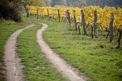 Lines (Katka S.) Tags: moravia morava czech republic nature stroll path dirt wine wineyard autumn yellow fall vanishing point