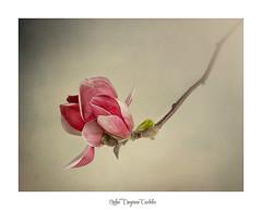 Magnolia (.... belargcastel ....) Tags: magnolia texturas flor flower belargcastel belénargüeso españa spain galicia plants