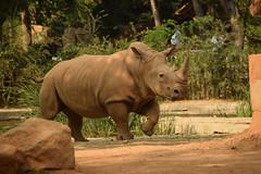Rhinoceros (good.fisherman) Tags: no person wildlife mammal nature rhinoceros travel outdoors wild animal safari zoo