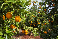 Orange Orchard (Christian Hacker) Tags: portugal algarve oranges orange orangeorchard orangeplantation orchard plantation ripe fruit trees agriculture farming production juicy lush canon eos50d tamron 1750mm growing sunny sunshine foliage rich yummy citrus sinensis orangegrove