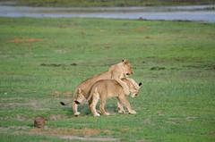 Junglöwen / Lion Cubs (brainstorm1984) Tags: big5 lioness boteti safari löwen makgadikgadi junge gamedrive elangeniafricanadventures cubs botetiriver junglöwen lion pantheraleo botswana junglöwe desertdeltasafaris wildlife löwin makgadikgadipansnationalpark wildfelinephotography cub leroolatau jungtiere jungtier makgadikgadipansgamereserve löwe lions bigfive centraldistrict botsuana bw