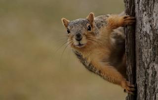 Squirrel, Cantigny Park. 53 (EOS)