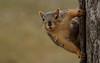 Squirrel, Cantigny Park. 53 (EOS) (Mega-Magpie) Tags: canon eos 60d outdoors cantigny park wheaton dupage il illinois usa america tree wildlife squirrel cute