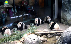 Bei Bei (My visitors watch me eat my biscuits and I watch them watch me.) 2018-03-16 at 9.53.24–54.26 AM (MyFoto:)) Tags: ccncby panda cub endangered vulnerable beibei smithsonian nationalzoo eating biscuit