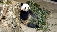 2018_03-16a (gkoo19681) Tags: beibei chubbycubby fuzzywuzzy adorableears brighteyed bootime allbetter toocute sorelieved contentment meltinghearts precious comfy ccncby nationalzoo