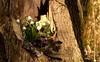 Einen schönen Sonntag... (Renata1109) Tags: baum baumstumpf wald blumen märzenbecher leberblümchen moos lila weis grün farben frühling bayern piusheim deutschland door licht sonne schatten