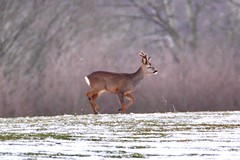 Roe deer (Baz2016) Tags: snowing springsnow running nature male roe wilddeer wildlife
