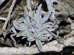 Southern California Dudleya (Dudleya lanceolata)2, Torrey Pines, CA, 3-18-18 B