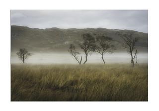 Misty Trees on Scottish Moor