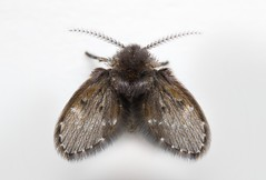 Drain Fly (Psychodidae) (Douglas Heusser Photography) Tags: psychodidae drain fly moth insect arthropod science wings canon 24mm reversed lens adapter macro photography graslon flash diffuser nature wildlife scientific image plate hussar photo