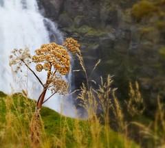 From Iceland. (Tóta. 27.12.1964.) Tags: natureiceland flower grass waterfall iceland ísland