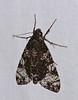 Hawkmoth (Isognathus excelsior) (berniedup) Tags: kaw roura guyane moth hawkmoth isognathusexcelsior sphingidae taxonomy:binomial=isognathusexcelsior