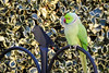 Come and Play with Me (mesocyclone70) Tags: bird funny green play parrot parakeet psittaculakrameri lorikeet ring feather feathers outdoor outdoors holland netherlands animal