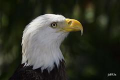 Bald Eagle portrait (jt893x) Tags: 150600mm baldeagle bird d500 eagle haliaeetusleucocephalus jt893x nikon nikond500 portrait profile raptor sigma sigma150600mmf563dgoshsms alittlebeauty coth thesunshinegroup coth5 ngc sunrays5