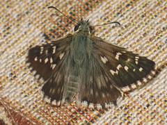 Pyrgus alveus - Large grizzled skipper - Толстоголовка шашечная (Cossus) Tags: hesperiidae pyrginae pyrgus анциферово 2007 толстоголовка skipper