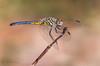 Blue Dasher.(Pachydiplax longipennis) (veltrahez) Tags: adbarnespark dragonfly bluedasher miami florida unitedstates us ngc nikon 180mm macro life nature