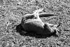 Tired Kangaroo (adamopal) Tags: canon canon5d canon5dmkiii canon5dmarkiii tiredkangaroo tired kangaroo sleepytime nocturnal nocturnalanimal captivitysucks zoolife outside monochrome blackandwhite blackwhite