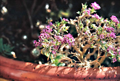 Purple Alyssum (Matthew Huntbach) Tags: fujivenus800 purple alyssum eos500n