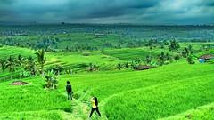 Bali: Jatiluwih Rice Terraces (gerard eder) Tags: world travel reise viajes asia southeastasia indonesia bali ricefields rice landscape landschaft l landwirtschaft agricultura agriculture natur nature naturaleza outdoor jatiluwih
