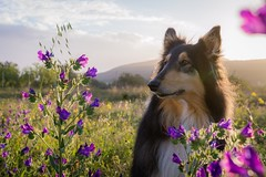 10/52 Leia,it smells like spring (shila009) Tags: leia dog portrait spring fields light sunset flower flores roughcollie landscape 1052 52weeksfordogs
