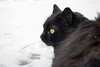 Black cat in the snow (Marta Panzeri) Tags: gatto cat blackcat gattonero pet animal animale snow contrasto neve white contrast greeneyes furry lovely cute